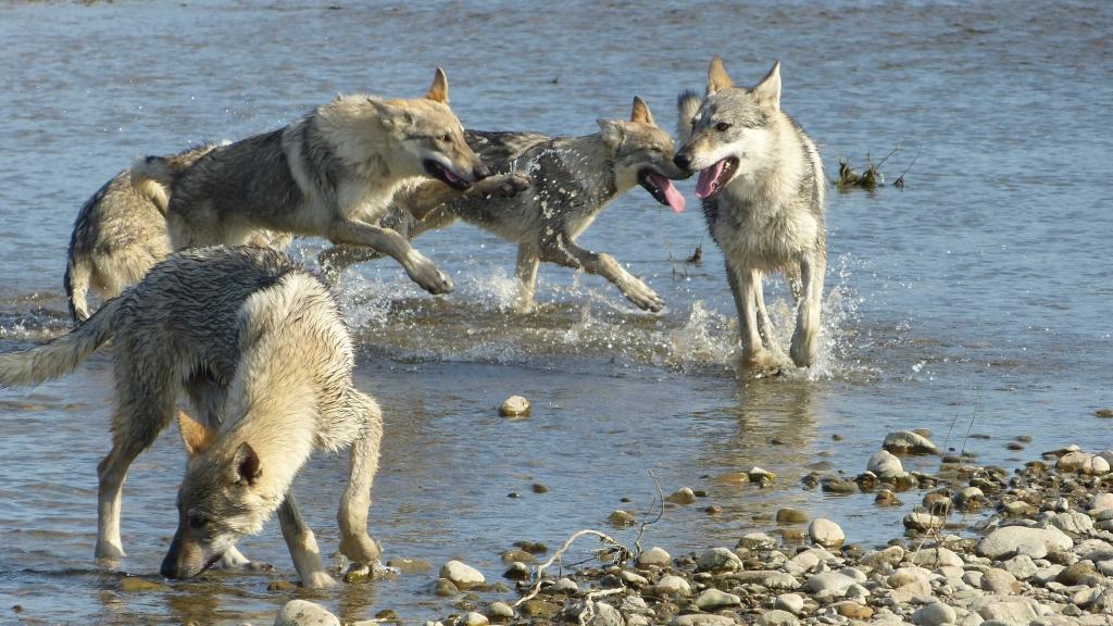 etang des chalands chien loup tchecoslovaque 2