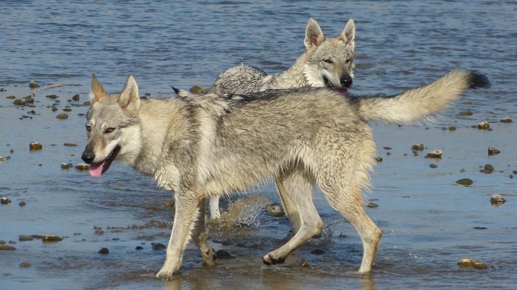 etang des chalands chien loup tchècoslovaque 1 1