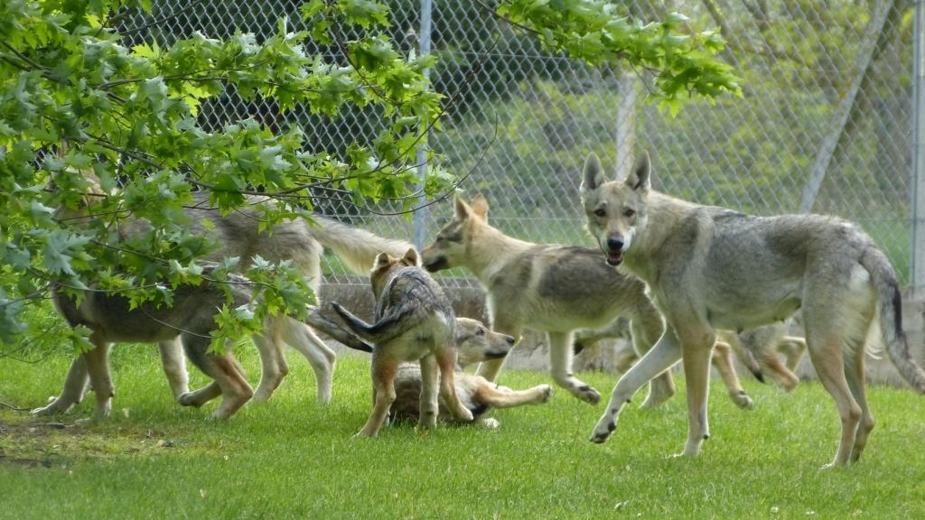 etang des chalands chien loup tchécoslovaque